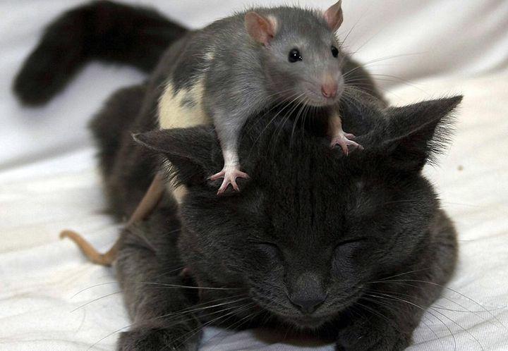 Крыса сидит на спящей кошке