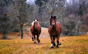 Две лошади скачут
