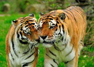 Любовный гороскоп на 2021 год для Тигра