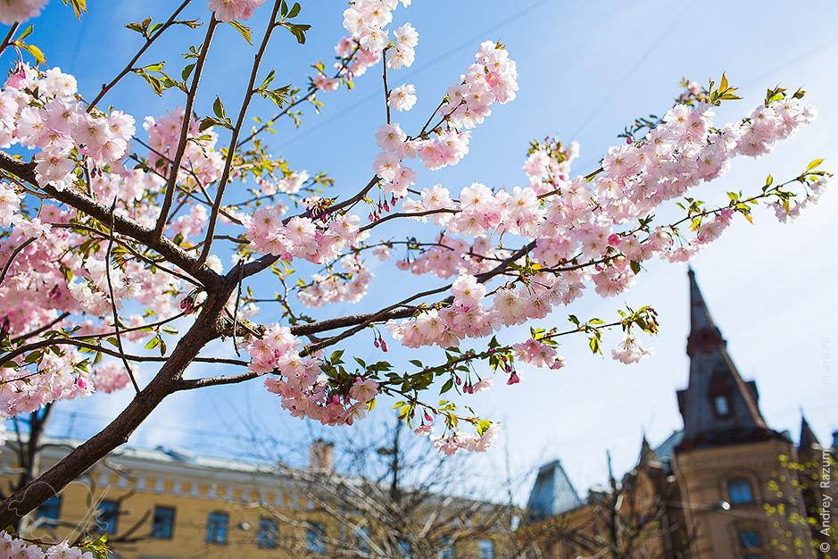 Где цветет сакура в Питере фото