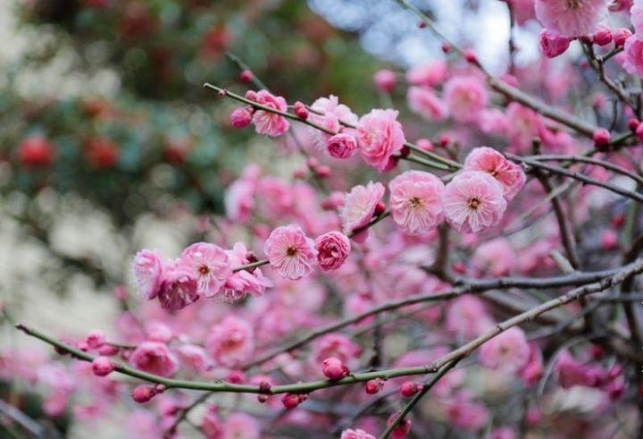 Цветение сакуры в 2020 году фото