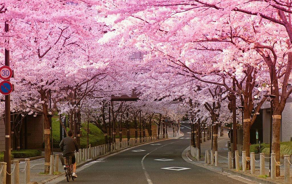 Цветение сакуры в 2019 году фото